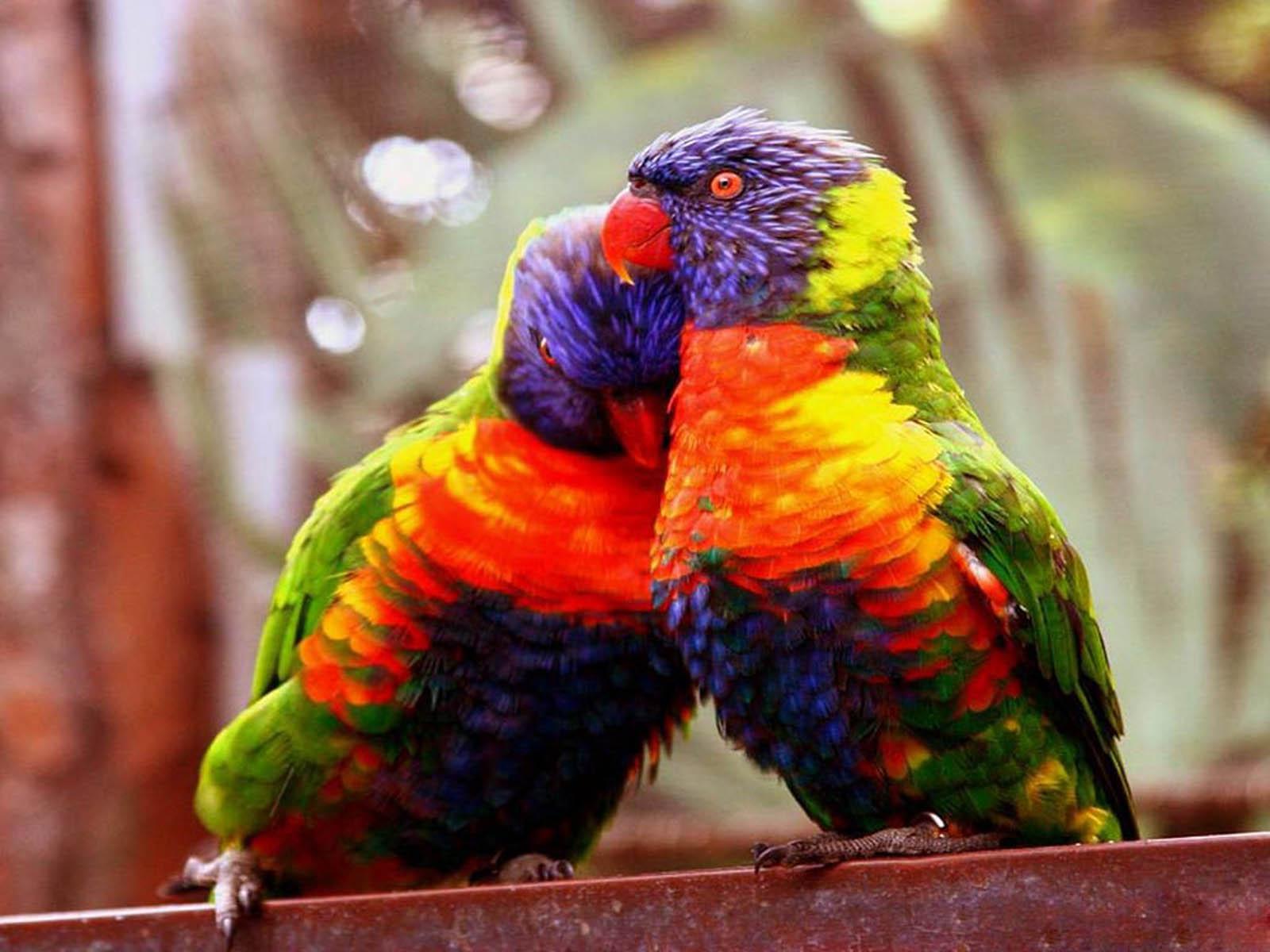 love birds wallpaper | top wallpapers