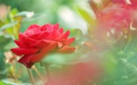 beautiful red rose flower photo hd wallpaper