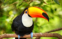 branch toucan bird hd wallpaper