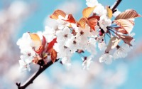 cheery flowers spring hd wallpaper