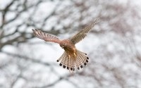 kestrel bird hd wallpaper