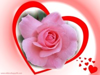 love pink rose wallpaper