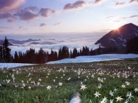 Avalanche Lilies at Appleton Pass, Olympic National Park, Washington