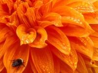 Bumblebee and Dewdrops, Dahlia