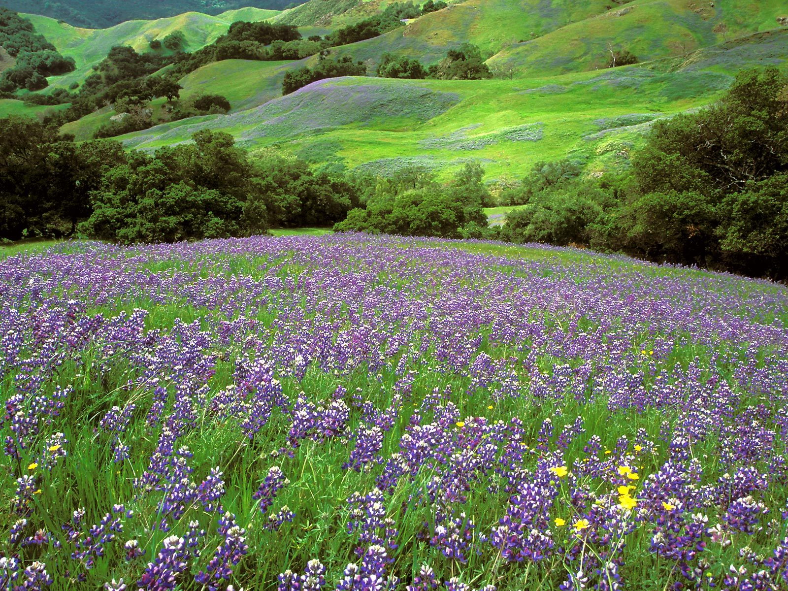 California Dreaming, Lupine Field, Cambria, California