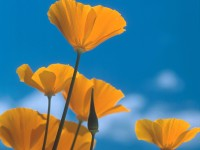 California Poppies, Siskiyou Mountains, near Ashland, Oregon
