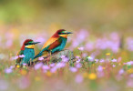 Couple Bird Wallpaper