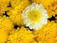 Dahlia Flower Mix