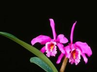 Delicate Wonders, Cattleya Maxima