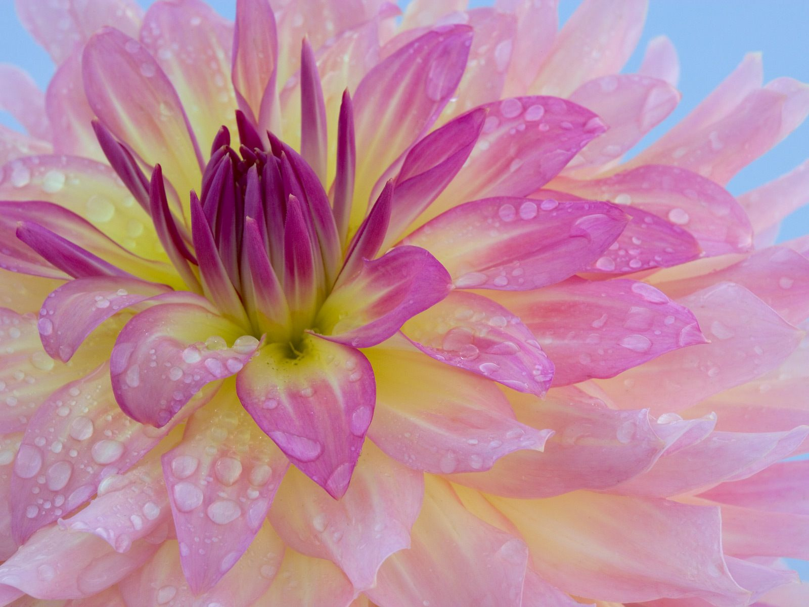 Dew-Covered Dahlia