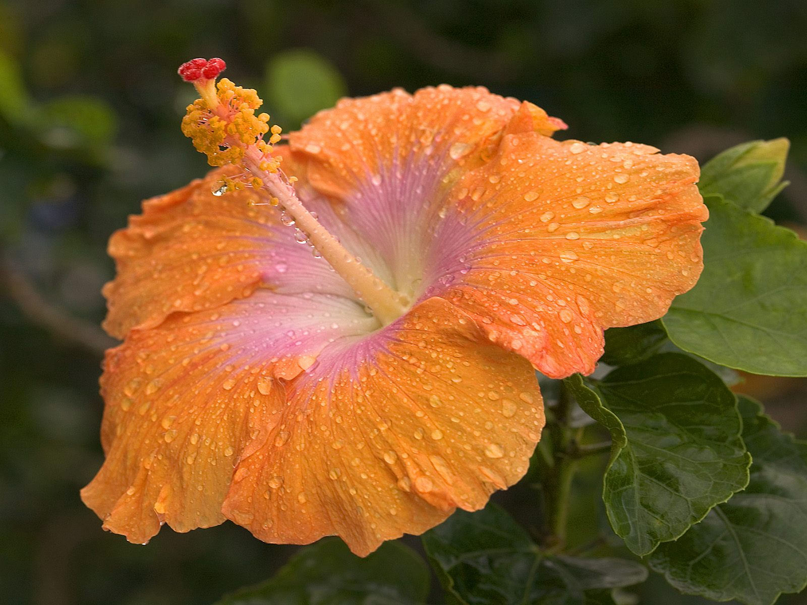 Dew-Covered Hibiscus, Kauai, Hawaii