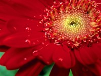 Dew Red, Zinnia