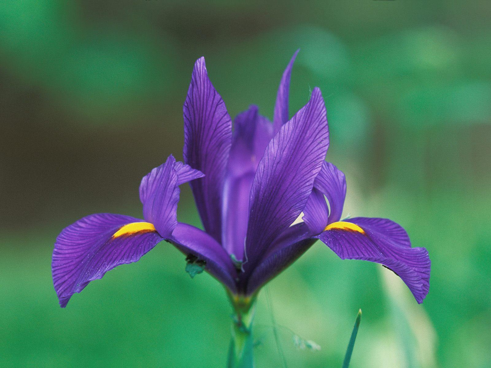 Domestic Iris