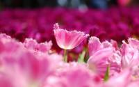 Pink flowers tulips wallpaper