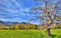 Spring apple tree wallpaper