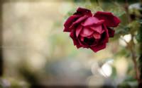 The rose wallpaper
