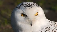 White owl With Bright Yellow Eyes Bird