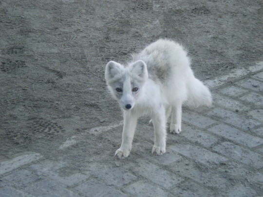Arctic Foxes 8 Wallpaper Animal Wallpapers Free