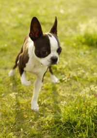 Boston Terrier Dog 6 Wallpaper