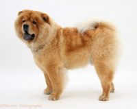Chow Chow Dog 13 Wallpaper