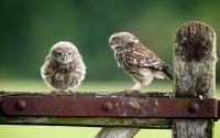 owls birds mood hd wallpaper