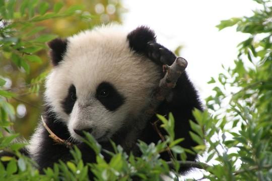 Panda Bears 4 Wallpaper Animal Wallpapers Iphone 5