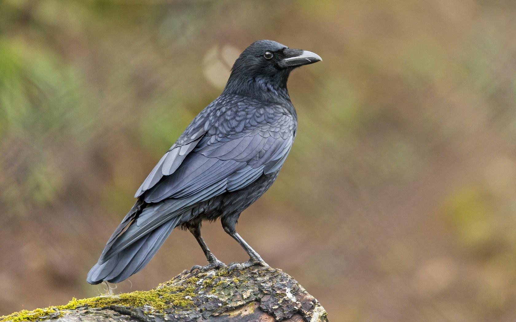 Raven Bird Moss Hd Wallpaper