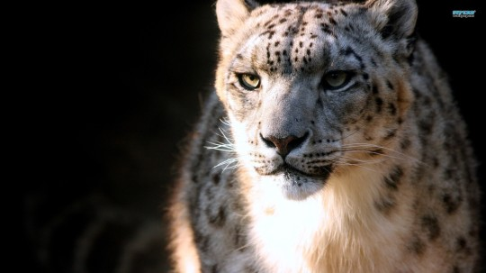 Snow Leopard 33 Wallpaper Animal Wallpapers For Desktop
