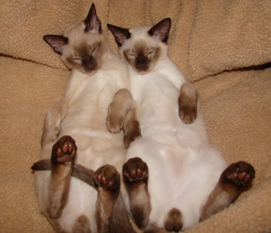 Tonkinese Cats Wallpaper Animal Wallpapers Hd