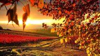 vineyard in autumn wallpaper