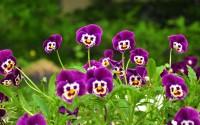 Beautiful Violet Flowers Wallpape