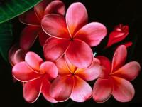 Great Red Flower Wallpaper