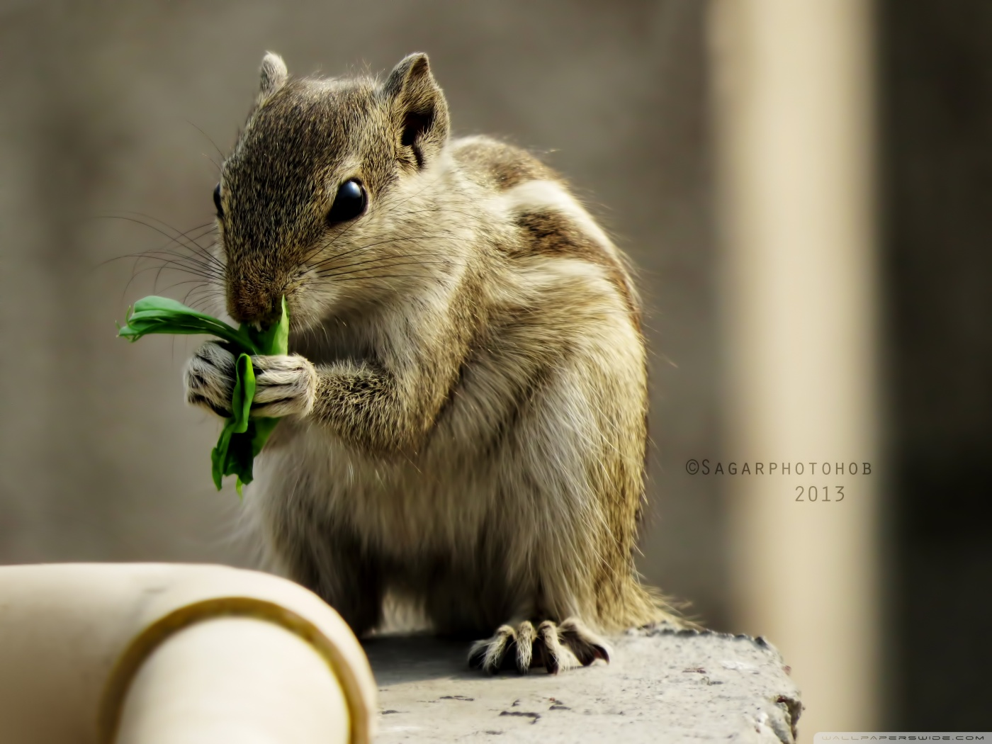 Indian palm squirrel wallpaper | Top Wallpapers
