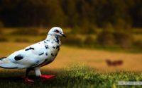 Pigeon Wallpapers