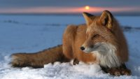 Fox HD Wallpapers