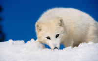 White Fox HD Wallpaper